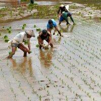 How is rice grown - Ricepedia